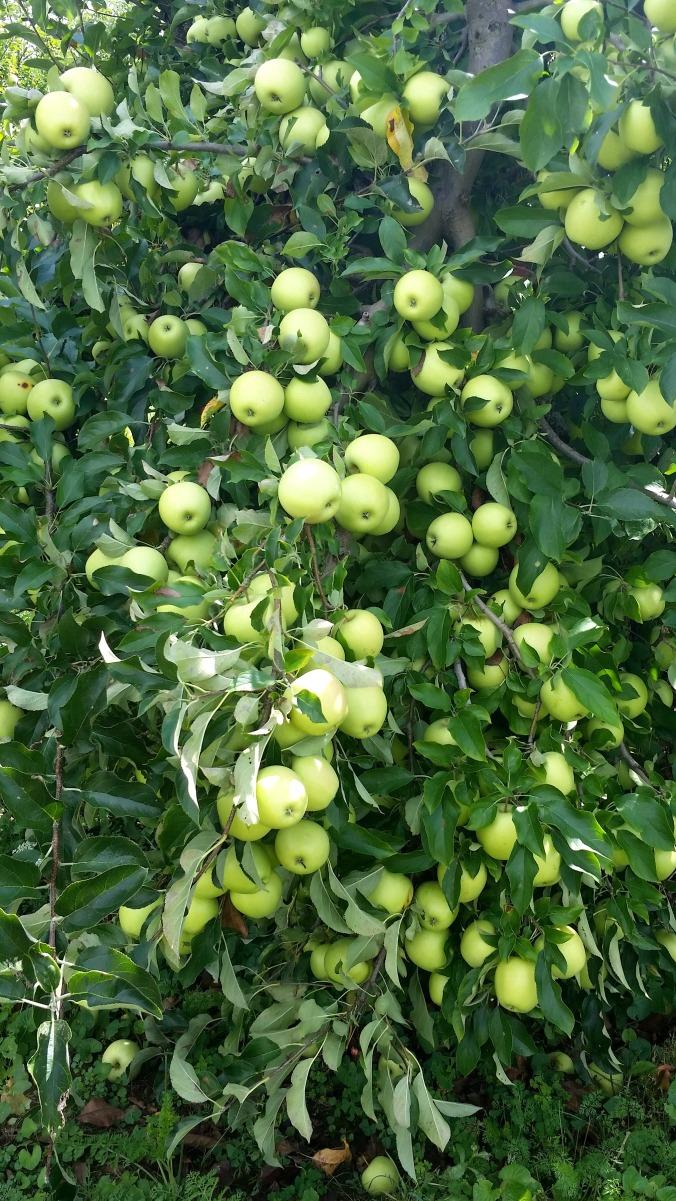 apple picking 10  brandie-sellers.com