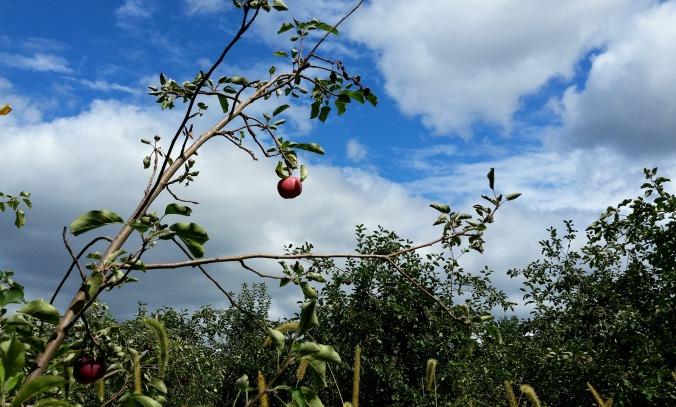 apple picking 13  brandie-sellers.com