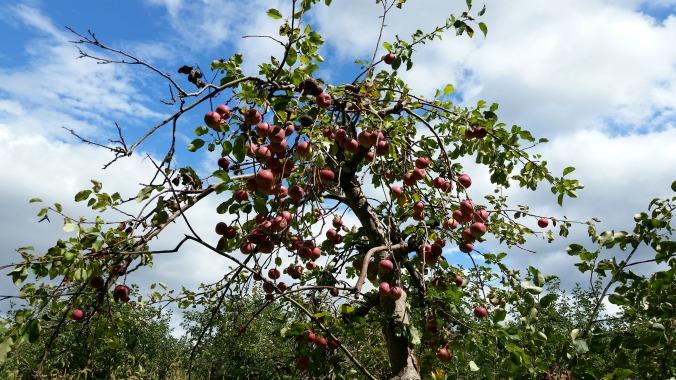 apple picking 14  brandie-seller.com