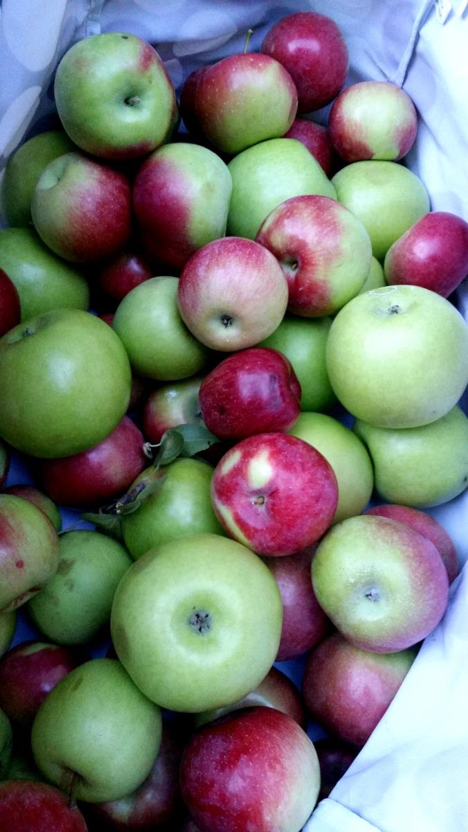 apple picking 18  brandie-sellers.com