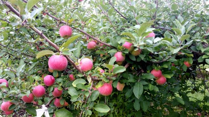 apple picking 3  brandie-sellers.com