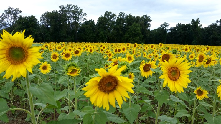 sunflower fields  brandie-sellers.com